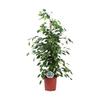 ficus benjamina 2 - La jardinerie de pessicart nice - Livraison a domicile nice 06 plantes vertes terres terreaux jardinage arbres cactus