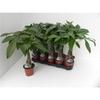 pachira aquatica p 12 h 45 - La jardinerie de pessicart nice - Livraison a domicile nice 06 plantes vertes terres terreaux jardinage arbres cactus