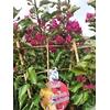 Bougainvillea 'Vera Deep Purple' palisé la jardinerie de pessicart nice 06100
