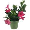 Dipladenia p10.5 fuchsia - La jardinerie de pessicart nice - Livraison a domicile nice 06 plantes vertes terres terreaux jardinage arbres cactus
