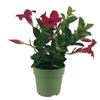 Dipladenia p10.5 rouge - La jardinerie de pessicart nice - Livraison a domicile nice 06 plantes vertes terres terreaux jardinage arbres cactus