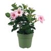 Dipladenia p10.5 rose pale  - La jardinerie de pessicart nice - Livraison a domicile nice 06 plantes vertes terres terreaux jardinage arbres cactus