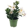 Dipladenia p10.5 blanc - La jardinerie de pessicart nice - Livraison a domicile nice 06 plantes vertes terres terreaux jardinage arbres cactus