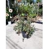 abelia à fleurs roses  - La jardinerie de pessicart nice - Livraison a domicile nice 06 plantes vertes terres terreaux jardinage arbres cactus