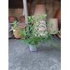 Verveine citronnelle 2 - La jardinerie de pessicart nice - Livraison a domicile nice 06 plantes vertes terres terreaux jardinage arbres cactus