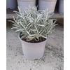 lavandes vraies angustifolia officinales aromatique 6 -  La jardinerie de pessicart nice - Livraison a domicile nice 06 plantes vertes terres terreaux jardinage arbres cactus