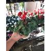 Cyclamen mini- La jardinerie de pessicart nice - Livraison a domicile nice 06 plantes vertes terres terreaux jardinage arbres cactus (3)