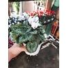 Cyclamen mini- La jardinerie de pessicart nice - Livraison a domicile nice 06 plantes vertes terres terreaux jardinage arbres cactus (4)