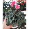 Cyclamen mini- La jardinerie de pessicart nice - Livraison a domicile nice 06 plantes vertes terres terreaux jardinage arbres cactus (2)