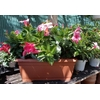 Dipladénias jardinière 40 cm rose