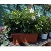 Dipladénias jardinière 40 cm blanc