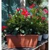 Dipladénias jardinière 40 cm rouge
