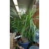 Beaucarnea Nolina coupe 27cm h 50-60 cm