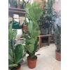 Ficus Lyrata P21 hauteur 100 la jardinerie de pessicart nice 06100
