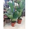 Ficus Lyrata P17 hauteur 80 la jardinerie de pessicart nice 06100