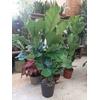 Ficus Lyrata P24 ramifie  hauteur 100 la jardinerie de pessicart nice 06100