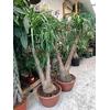 Beaucarnea Nolina ramifié coupe 30 cm la jardinerie de pessicart nice 06100