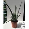 Aloe vera - Pot 17 cm - Hauteur 40 cm La Jardinerie de Pessicart NIce 06100