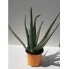 Aloe vera - Pot 12 cm - Hauteur 30 cm La Jardinerie de Pessicart NIce 06100