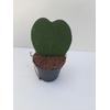 Hoya Cœur 1 plante - La Jardinerie de Pessicart Nice 06100