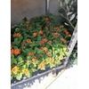 Lantana Camara (buisson) Hauteur 40cm Pot Ø 19cm La Jardinerie de Pessicart Nice