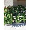 Lantana Camara Hauteur 40-60 cm Pot 10 litres La Jardinerie de Pessicart Nice 06100