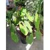 Colocasia Blue Hawai - Oreille d'Eléphant - Pot 10 litres La Jardinerie de Pessicart Nice 06100