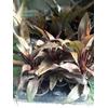 Cordyline pot Ø 9 Purple compacta feuillage Pourpre - La Jardinerie de Pessicart Nice 06100