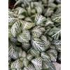 Fittonia - Pot Ø 10.5 cm - Vert et blanc - La Jardinerie de Pessicart Nice 06100