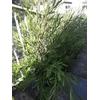 Dodonaea Bois de rainette pot 5 litres hauteur 100-120 cm - La Jardinerie de Pessicart Nice 06100