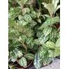 pilea involucrata vert P9 La Jardinerie de Pessicart Nice 06100