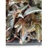 pilea involucrata bronse P9 La Jardinerie de Pessicart Nice 06100