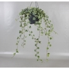 lierre hedera suspension 5 - La jardinerie de pessicart nice - Livraison a domicile nice 06 plantes vertes terres terreaux jardinage arbres cactus