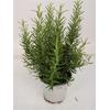 Romarin 2 - La jardinerie de pessicart nice - Livraison a domicile nice 06 plantes vertes terres terreaux jardinage arbres cactus