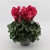 Cyclamen 7 - La jardinerie de pessicart nice - Livraison a domicile nice 06 plantes vertes terres terreaux jardinage arbres cactus