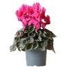 Cyclamen 4 - La jardinerie de pessicart nice - Livraison a domicile nice 06 plantes vertes terres terreaux jardinage arbres cactus