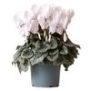 Cyclamen 5 - La jardinerie de pessicart nice - Livraison a domicile nice 06 plantes vertes terres terreaux jardinage arbres cactus