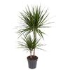 dracaena marginata 2 p h45  - La jardinerie de pessicart nice - Livraison a domicile nice 06 plantes vertes terres terreaux jardinage arbres cactus