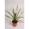 dracaena marginata p9 h15  - La jardinerie de pessicart nice - Livraison a domicile nice 06 plantes vertes terres terreaux jardinage arbres cactus