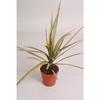 dracaena marginata 2 p9 h15  - La jardinerie de pessicart nice - Livraison a domicile nice 06 plantes vertes terres terreaux jardinage arbres cactus