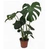 Monstera deliciosa 3- La jardinerie de pessicart nice - Livraison a domicile nice 06 plantes vertes terres terreaux jardinage arbres cactus