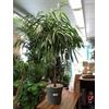 ficus esabre alii tige pot à reserve d'eau - La jardinerie de pessicart nice - Livraison a domicile nice 06 plantes vertes terres terreaux jardinage arbres cactus