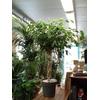 figuier pleureur ficus benjamina tige pot à reserve d'eau - La jardinerie de pessicart nice - Livraison a domicile nice 06 plantes vertes terres terreaux jardinage arbres cactus