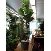 ficus lyrata tige pot à reserve d'eau - La jardinerie de pessicart nice - Livraison a domicile nice 06 plantes vertes terres terreaux jardinage arbres cactus