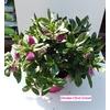 veronique fichsia rose hebe 2 - La jardinerie de pessicart nice - Livraison a domicile nice 06 plantes vertes terres terreaux jardinage arbres cactus