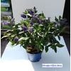 veronique bleue hebe - La jardinerie de pessicart nice - Livraison a domicile nice 06 plantes vertes terres terreaux jardinage arbres cactus