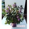 veronique mauve violette  hebe - La jardinerie de pessicart nice - Livraison a domicile nice 06 plantes vertes terres terreaux jardinage arbres cactus