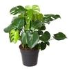 Monstera deliciosa  5 - La jardinerie de pessicart nice - Livraison a domicile nice 06 plantes vertes terres terreaux jardinage arbres cactus