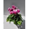 Cyclamen - Pot Ø 14 cm - Bicolore - La Jardinerie de Pessicat Nice 06100