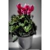 Cyclamen - Pot Ø 10.5 cm - Bicolore - La Jardinerie de Pessicat Nice 06100